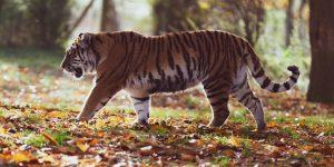 amur-tiger-4155922_1920